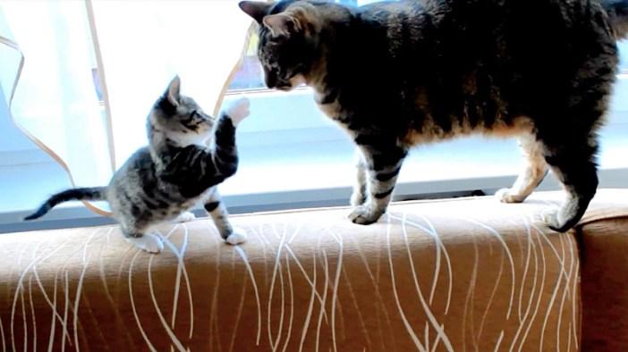 大人猫と遊ぶ子猫