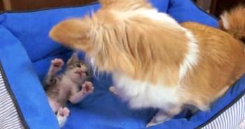 じゃれ合うチワワと子猫