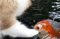 コイが大好きな猫