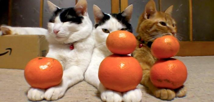 """まったりしながら、手の上で """"ミカンだるま"""" を完成させる猫達。満足そうにウトウトし始める姿に心が癒される (*´ェ`*)♡"""
