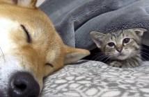 柴犬と遊びたい子猫