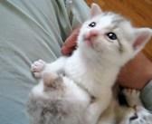 不安そうに鳴き続ける3匹の保護子猫。膝に乗せた瞬間にピタッと鳴き止み、幸せいっぱいの姿を見せてくれた (*´ェ`*)