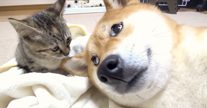 接近する猫と柴犬
