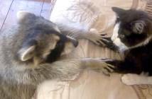アライグマと猫
