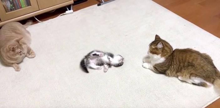 かまってアピールする子猫