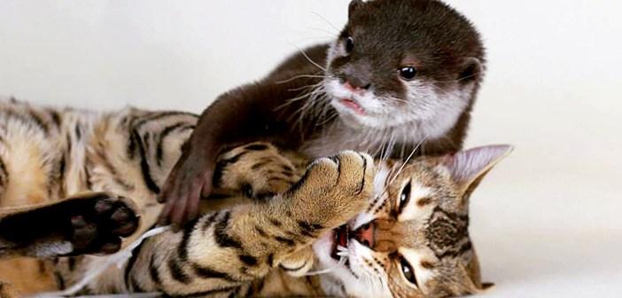 幼い頃から一緒に育った猫とカワウソ。その驚くほどの仲良しぶりに、思わず心が温まる (*´ェ`*)♡