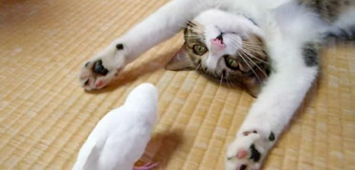 お昼寝したい猫さんに、遊びたいインコが猛アタック♪ 仲良くじゃれ合うふたりの姿がとっても微笑ましかった (*´ェ`*)♡