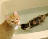 「この不思議な感覚がたまらにゃい♪」楽しそうにお風呂で遊ぶ猫と、その猫が気になってソワソワする同居猫が可愛い♡