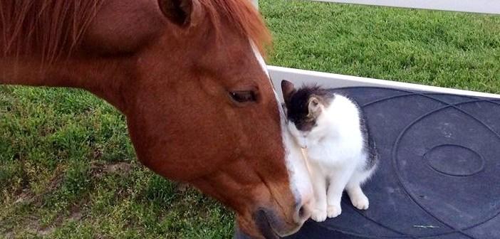 小さな頃から馬のお父さんに育てられた猫さん。種族を越えた親子の姿に心がホッと癒される (*´ω`*)