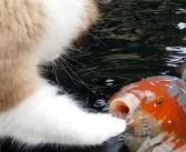 いつの間にか池のコイとお友達になった猫さん。コイと一緒に楽しそうに遊ぶ姿にビックリ (*゚0゚)!