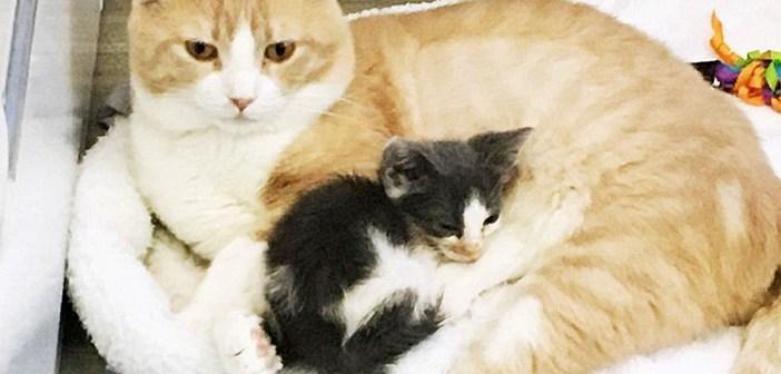道路脇で動かなくなっていた瀕死の子猫。動物病院でみんなを世話するお父さん猫のおかげで、再び成長を始める