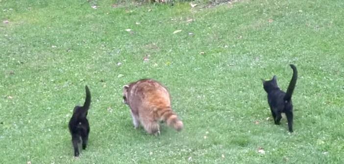 5年前から世話していた盲目のアライグマが、2匹の子猫を連れて来た! それ以来、毎日一緒に姿を現すようになって…