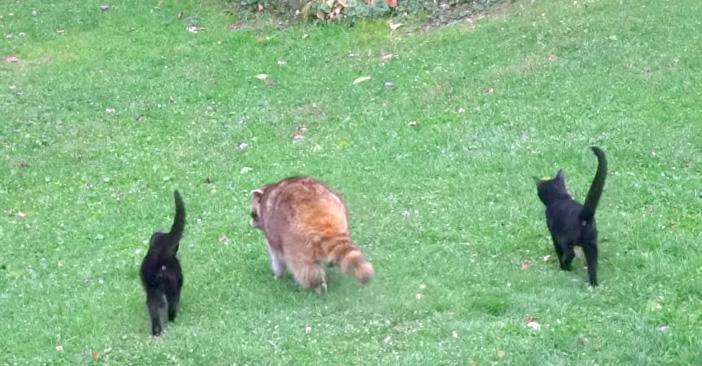 アライグマと子猫達