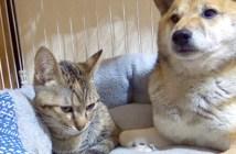 柴犬と子猫