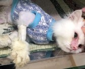 「もう助からない」と言われた保護猫。決して諦めなかった優しい女性のおかげで美しい姿を取り戻し、みんなを驚かせる!