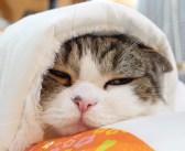 猫布団を敷いてみると、とっても可愛い反応が♪ 思い思いの使い方で猫布団を堪能する2匹の猫さん達が面白い ( *´艸`)
