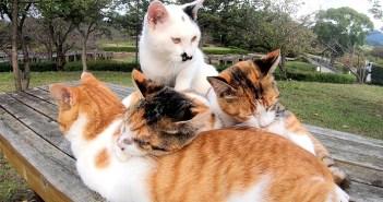 風邪をひいた三毛猫に寄り添って、優しく温めてあげる仲間達。その愛情深い行動に心がホッと温まる