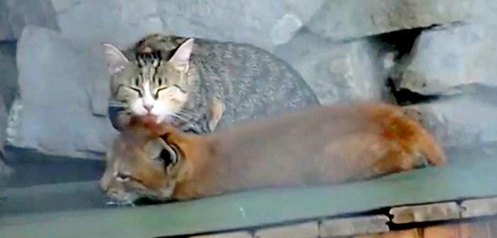 オオヤマネコの赤ちゃんを愛情いっぱいに育てる猫のお母さん。とっても仲良しな2匹の姿に心がホッと温まる (*´ω`*)