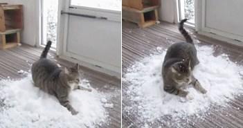 雪に取り憑かれた室内飼いの猫さん。飼い主さんが外から運んできてくれた雪に大興奮しながら遊び回る姿が可愛い!