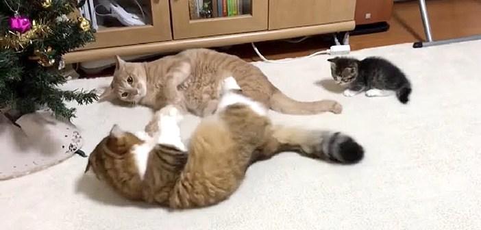 大人猫同士のケンカの仲裁に入る子猫。その可愛すぎる仲裁方法に思わず胸がキュンとする ( *´艸`)♡