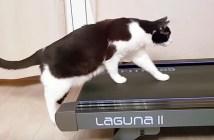 ルームランナーに挑戦する猫