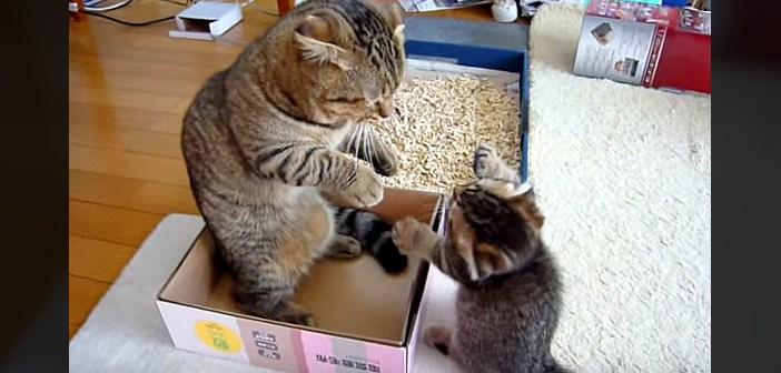 「ポカポカポカポカ!」と連続猫パンチを繰り出す子猫。それに対するお父さんの反応がとっても可愛かった ( *´艸`)♡
