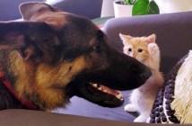 シェパードと子猫