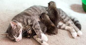 3匹の子猫の母親になった猫