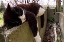 塀の上で眠る猫