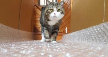 プチプチの上を歩く猫