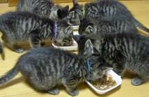 食べる子猫達