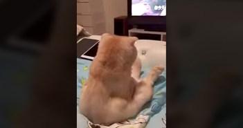 テレビに夢中の猫
