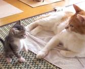 生まれてすぐに保護されて、優しい家族と一緒に暮らし始めた迷子の子猫。1ヶ月間の成長の様子に心がホッと温まる♡