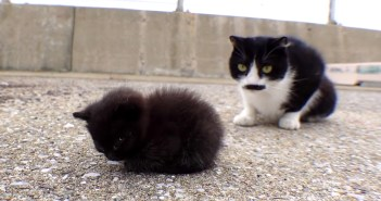 ヨチヨチ歩きの子猫に恐る恐る近づくお姉さん猫達。そんな中、ちょこんと丸くなってウトウトし始める子猫が可愛い
