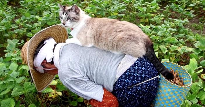 小豆を収穫するおばあちゃんに寄り添う猫