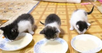 離乳食にチャレンジする子猫達