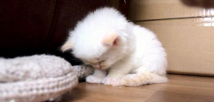 強烈な眠気に襲われた子猫。何とか耐えようとするも、徐々に眠りに落ちていく様子が可愛すぎる ( *´艸`)♡