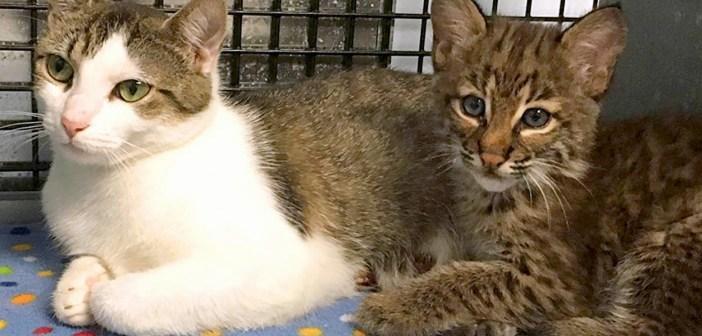 ボブキャットの赤ちゃんと猫