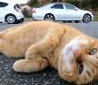 ゴロンゴロンと転がる猫