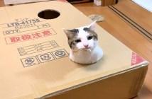 ダンボール箱で遊ぶ猫