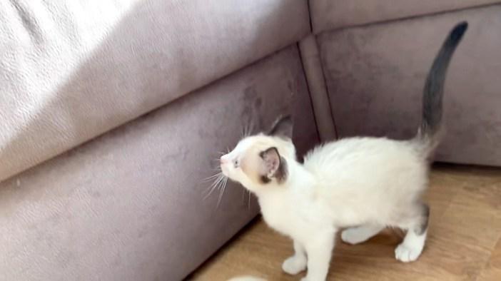 ソファーから落ちた子猫