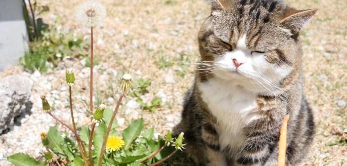 タンポポと猫