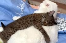 猫とボブキャット