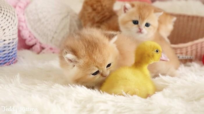 アヒルの子と子猫達