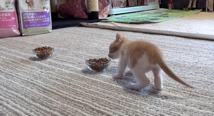 カリカリに向かう子猫