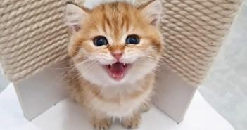 可愛い声で鳴く子猫