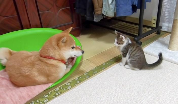 子猫を優しく見る柴犬