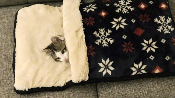 布団に入る子猫