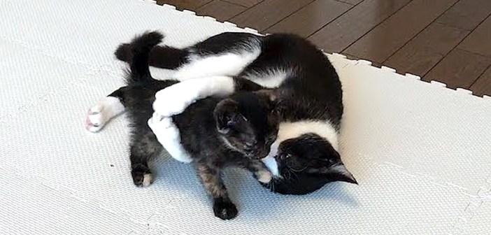 遊ぶ子猫と先住猫