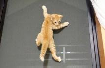 網戸を登る子猫